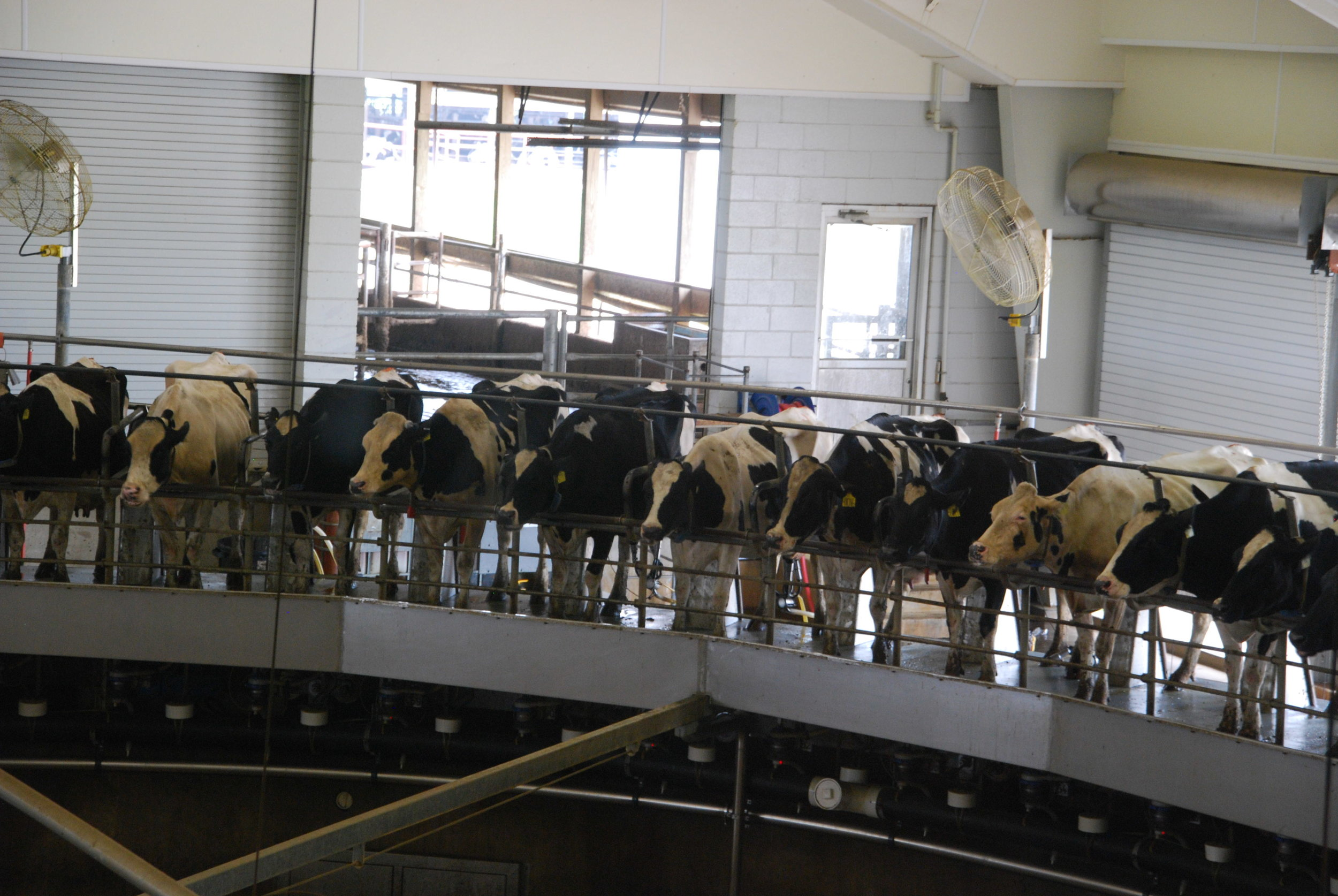 Milking machine with cows in for milking. Image by Michael Kappel showing Fair Oaks Farm.