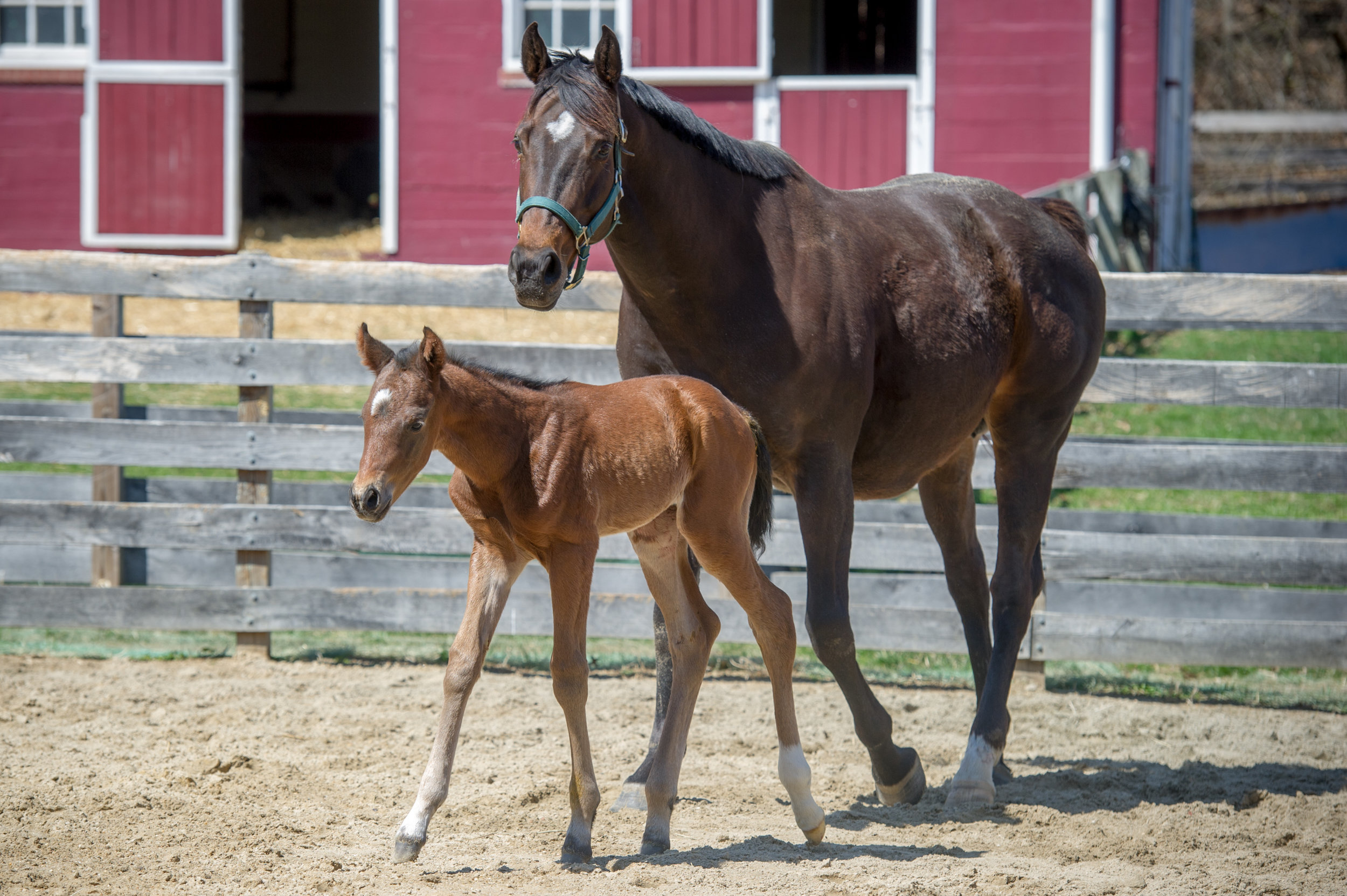 "Image shows a newborn foal at the University of Maryland campus farm. Photo Credit Edwin Remsberg.                           Normal     0                     false     false     false         EN-US     X-NONE     X-NONE                                                                                                                                                                                                                                                                                                                                                                                                                                                                                                                                                                                                                                                                                                                                                                                                                                                                                                                                                                                                                                                                                                                                                                                                                                                                                                                                                                                                                                                                                                                                                                                                                                                                                                                                 /* Style Definitions */ table.MsoNormalTable 	{mso-style-name:""Table Normal""; 	mso-tstyle-rowband-size:0; 	mso-tstyle-colband-size:0; 	mso-style-noshow:yes; 	mso-style-priority:99; 	mso-style-parent:""""; 	mso-padding-alt:0in 5.4pt 0in 5.4pt; 	mso-para-margin-top:0in; 	mso-para-margin-right:0in; 	mso-para-margin-bottom:8.0pt; 	mso-para-margin-left:0in; 	line-height:107%; 	mso-pagination:widow-orphan; 	font-size:11.0pt; 	font-family:""Calibri"",sans-serif; 	mso-ascii-font-family:Calibri; 	mso-ascii-theme-font:minor-latin; 	mso-hansi-font-family:Calibri; 	mso-hansi-theme-font:minor-latin;}"