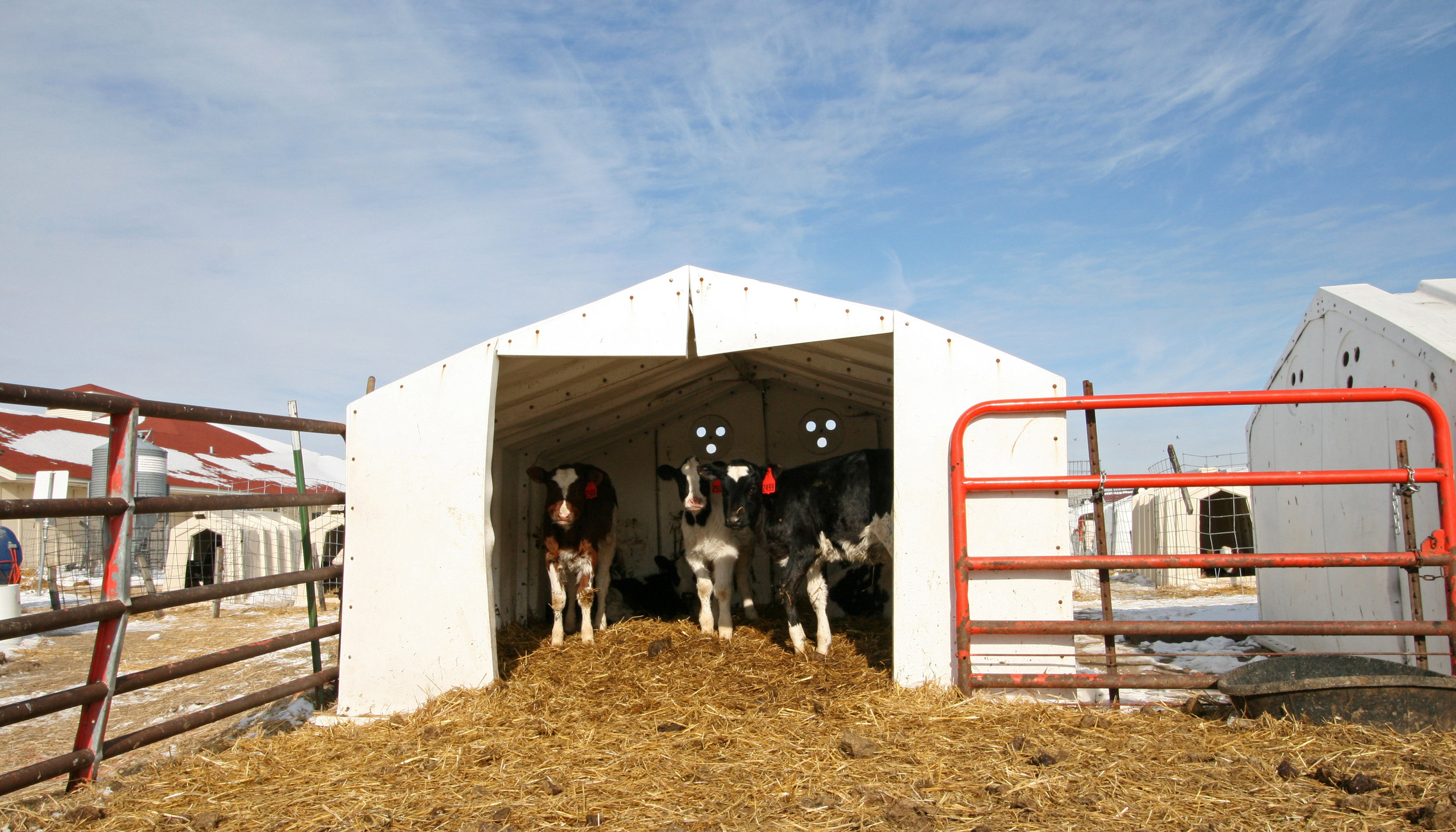 Image of calves in calve shed on farm. Image by Richard Yuan.