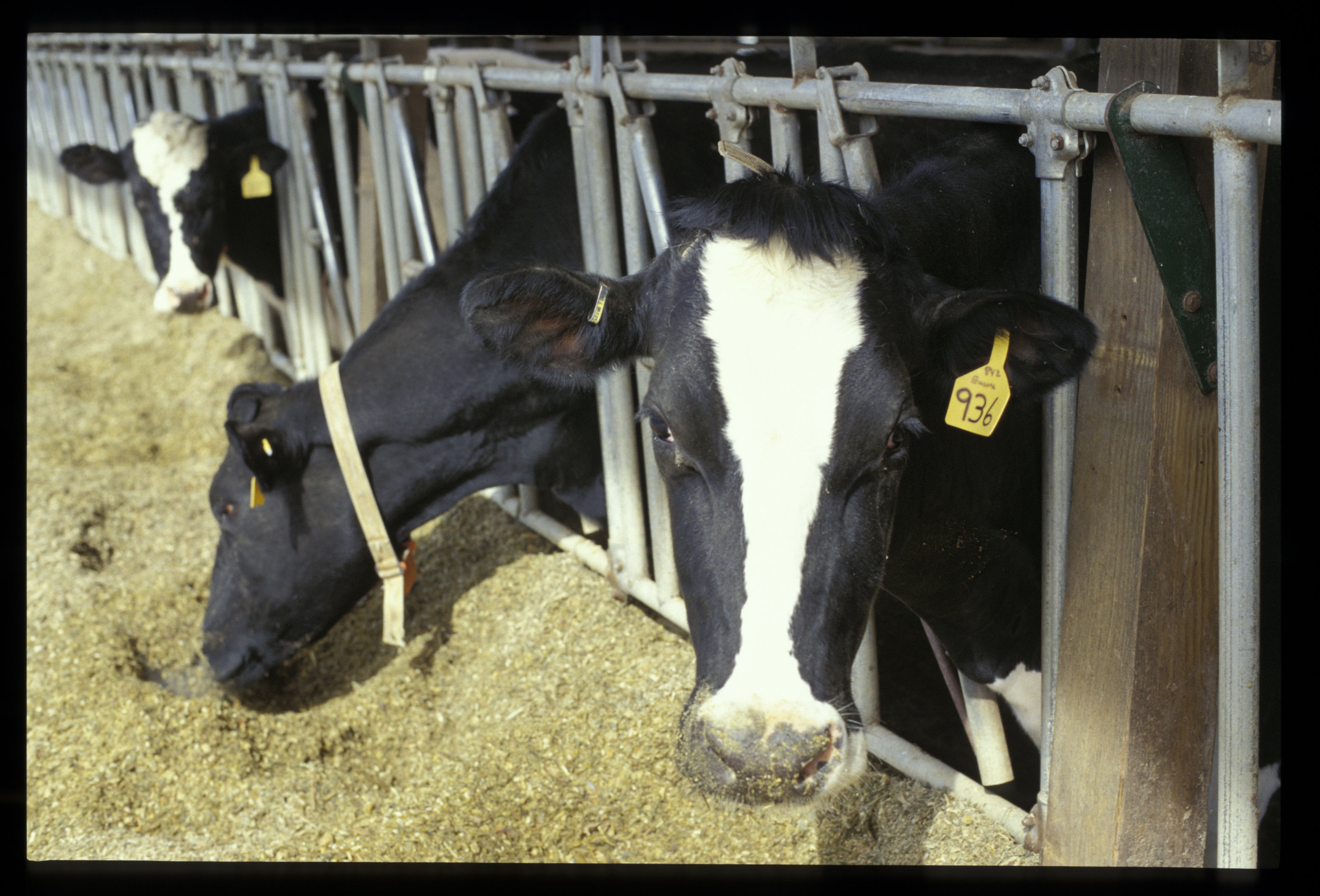 Image is of dairy cows.  Photo by Edwin Remsberg.