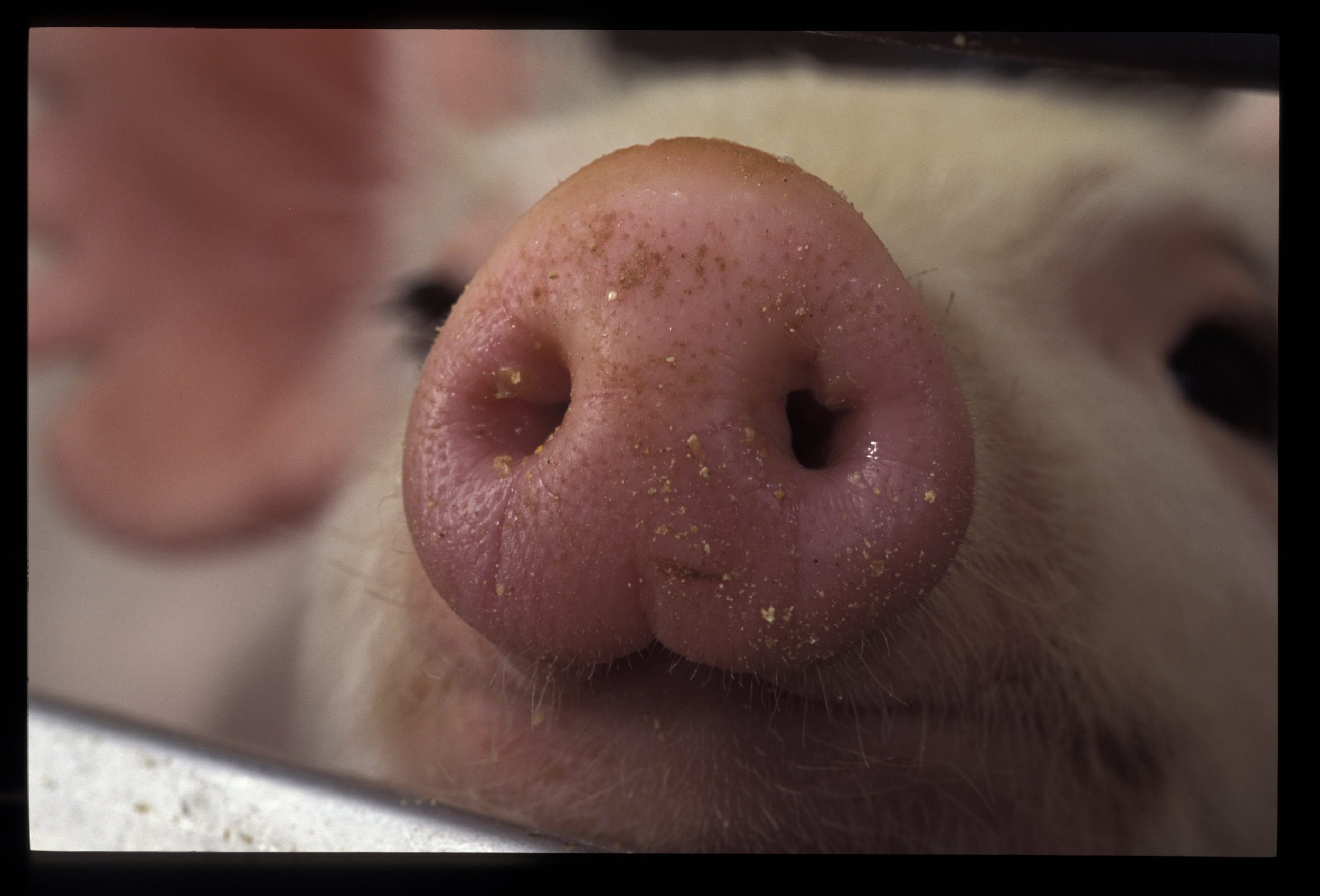 Photo depicts close up of a pig. Photo credit- Edwin Remsberg