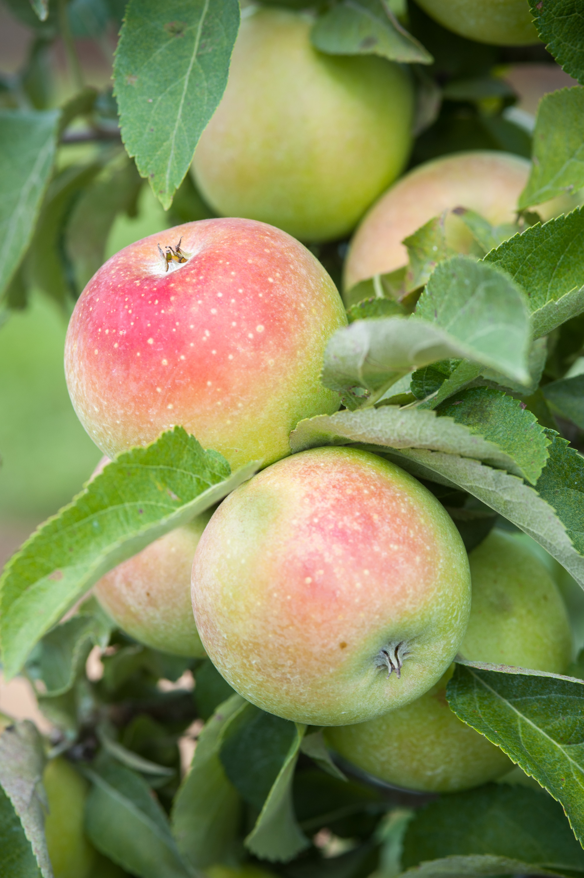 Image is a close up of apples on the tree.  Image by Edwin Remsberg.
