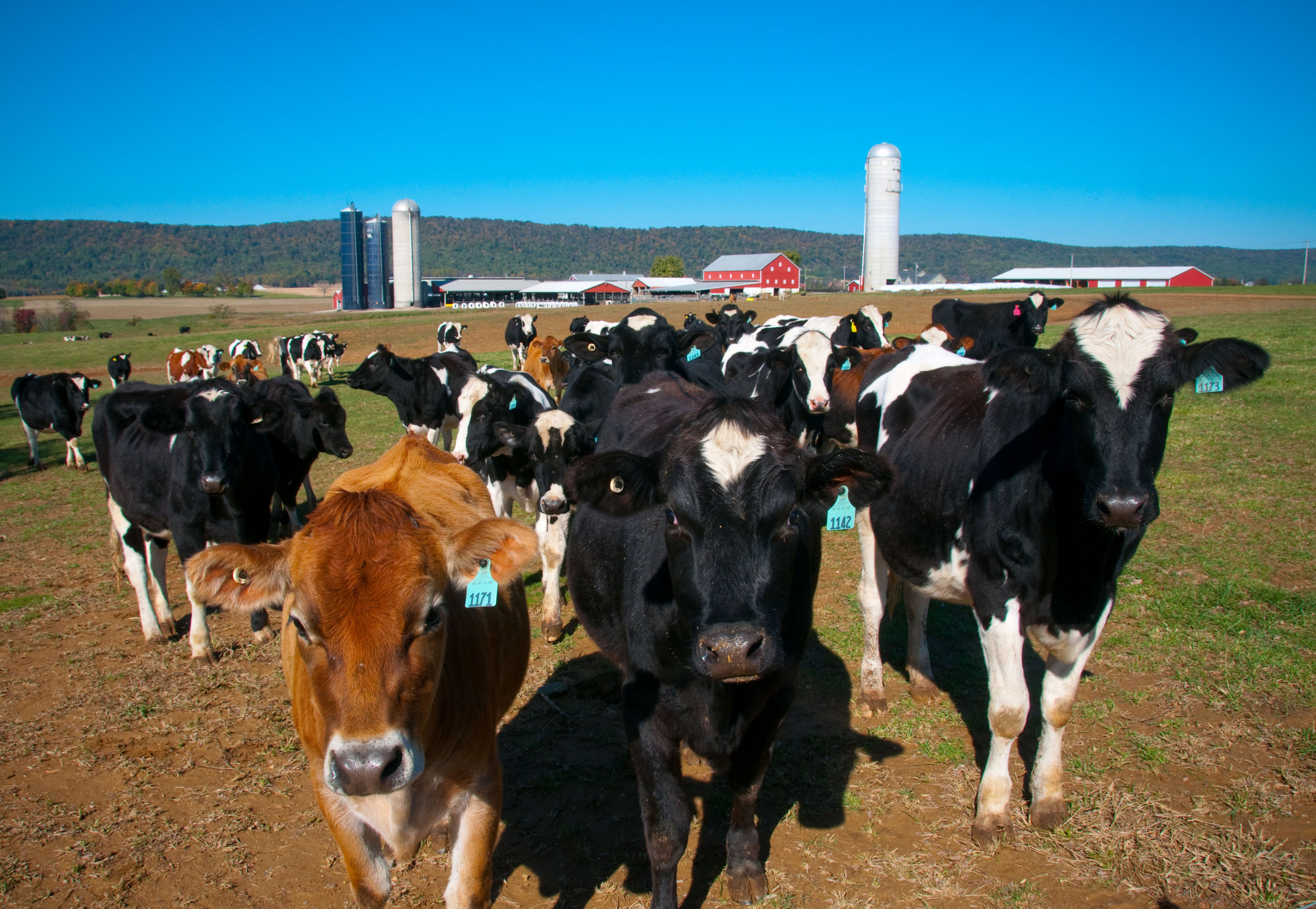 Photo of cows on a farm. Image by Edwin Remsberg.