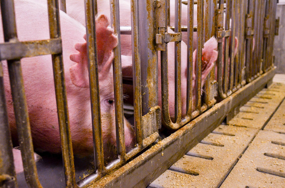 Image of hogs in a modern hog farm. Image is by University of Missouri via flickr.