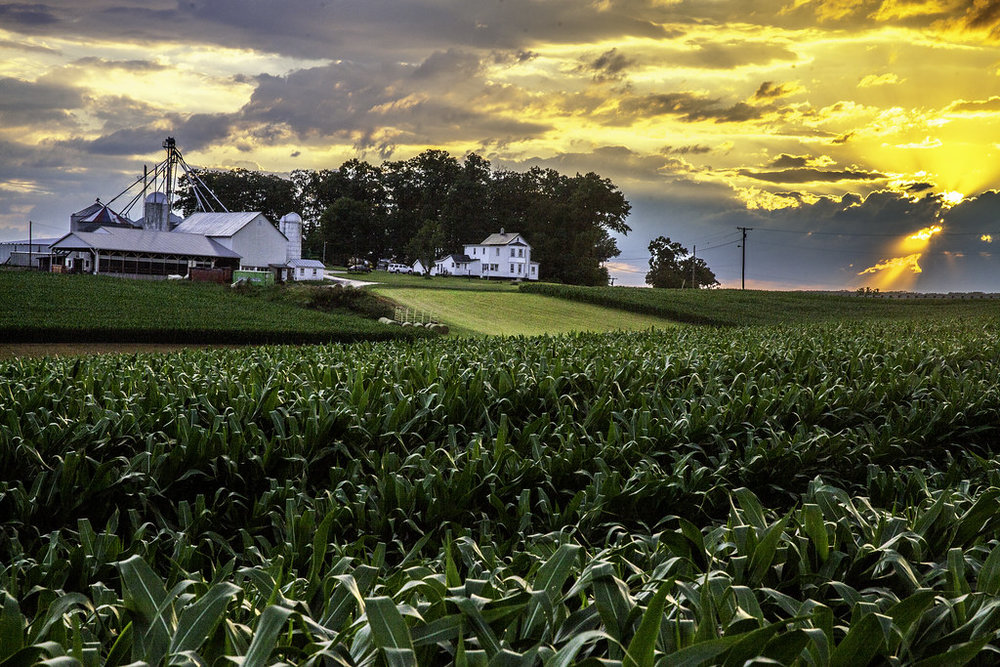Corn growing in the field with farmhouse and other buildings. Image by Beau Considine.