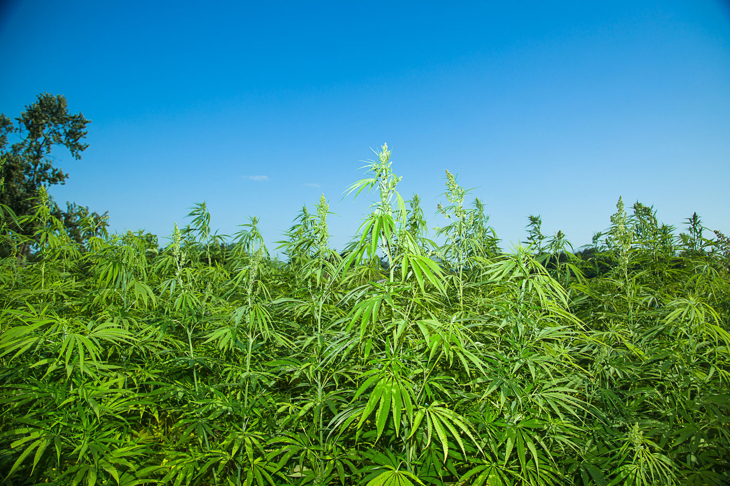 Industrial hemp research in Kentucky. Image by UK College of Agriculture, Food and Environment