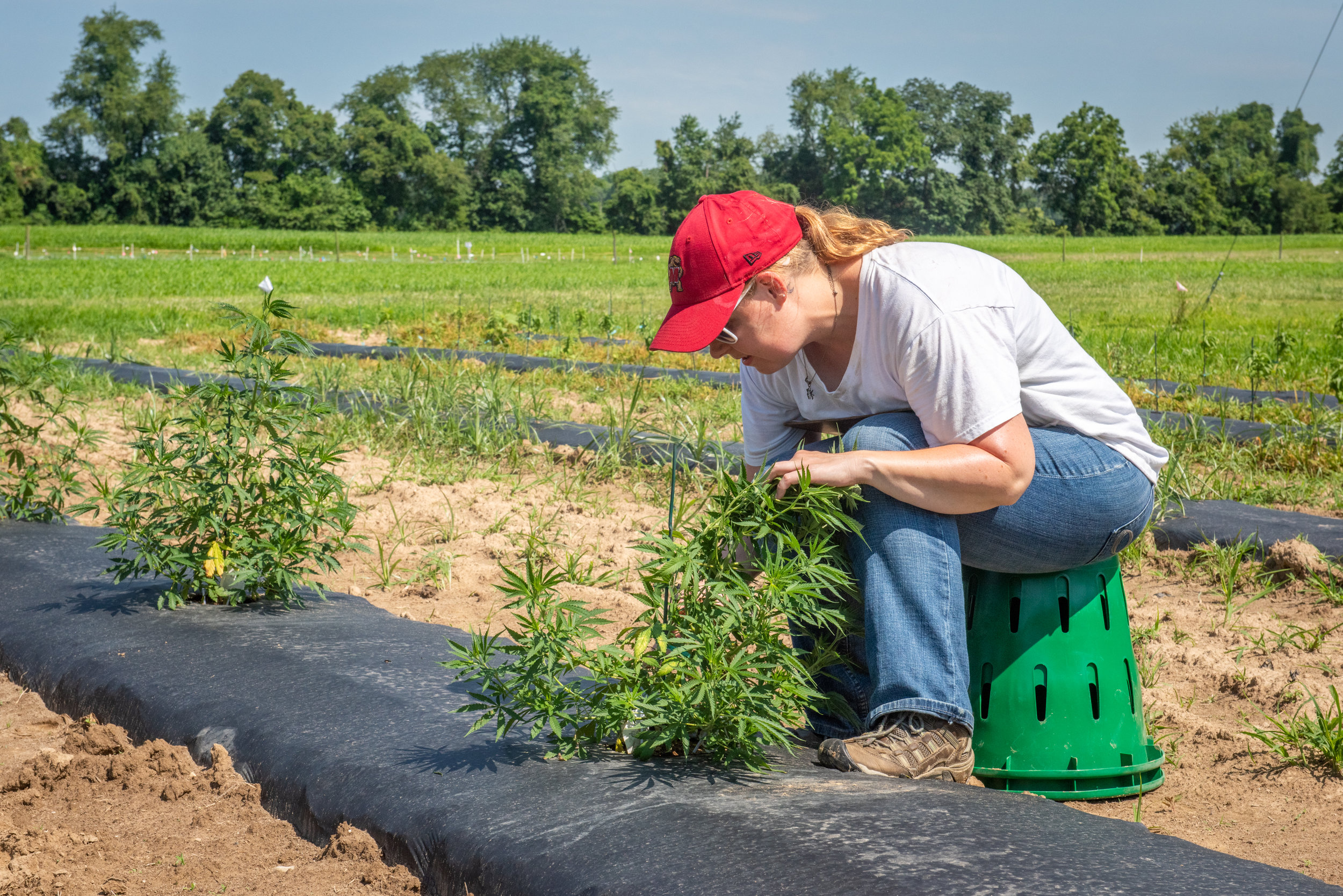 Hemp research plots at the Wye with researcher counting bugs on the plants.  Image by Edwin Remsberg.
