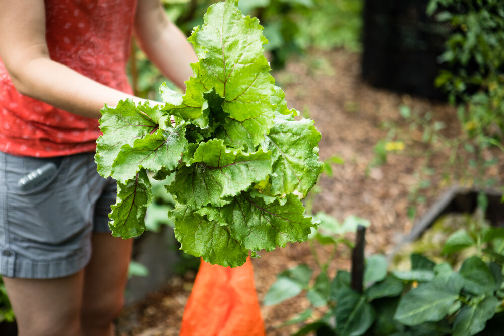 Image of vegetables being harvested in Maryland. Image is by Will Parson/Chesapeake Bay Program.