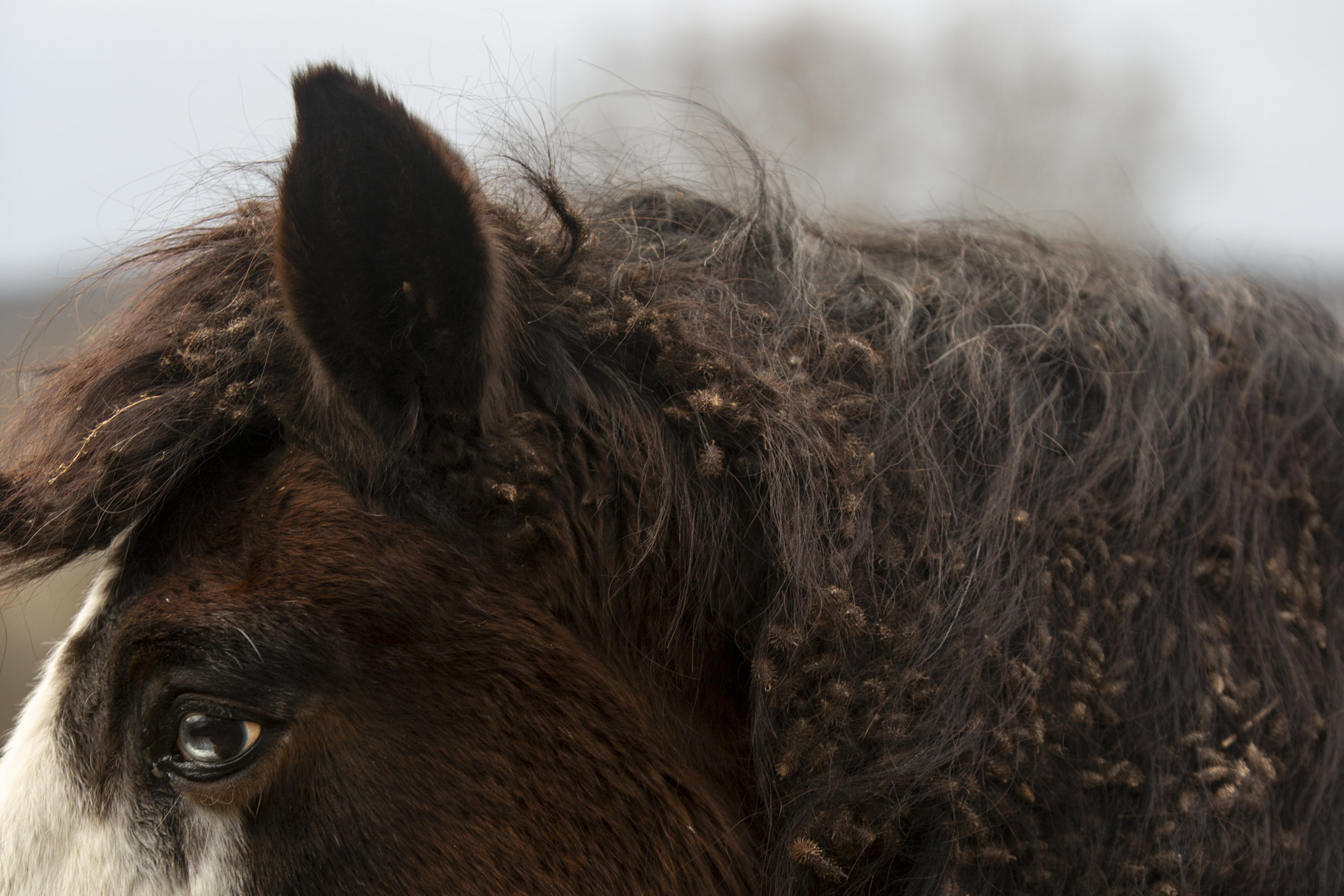 Though he is looked after by family and friends, the burs knotted in Chief's mane signify a decline in attention since his owner moved away over ten years ago. Many residents of Sharpsburg leave the community in search of better work prospects.