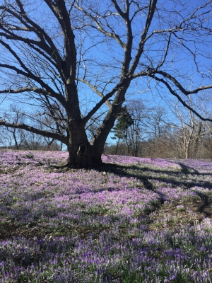 Crocuses, Brooklyn Botanic Garden, March 2.