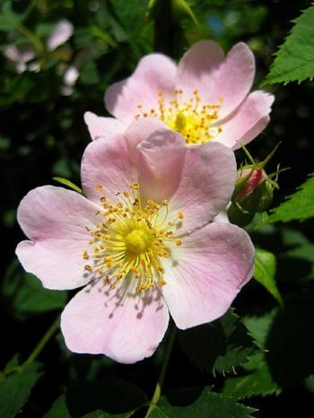 Rosa canina , image credit:  Wikipedia