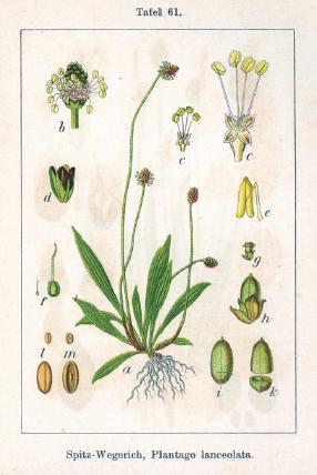 Plantago lanceolata   Image source: Wikimedia