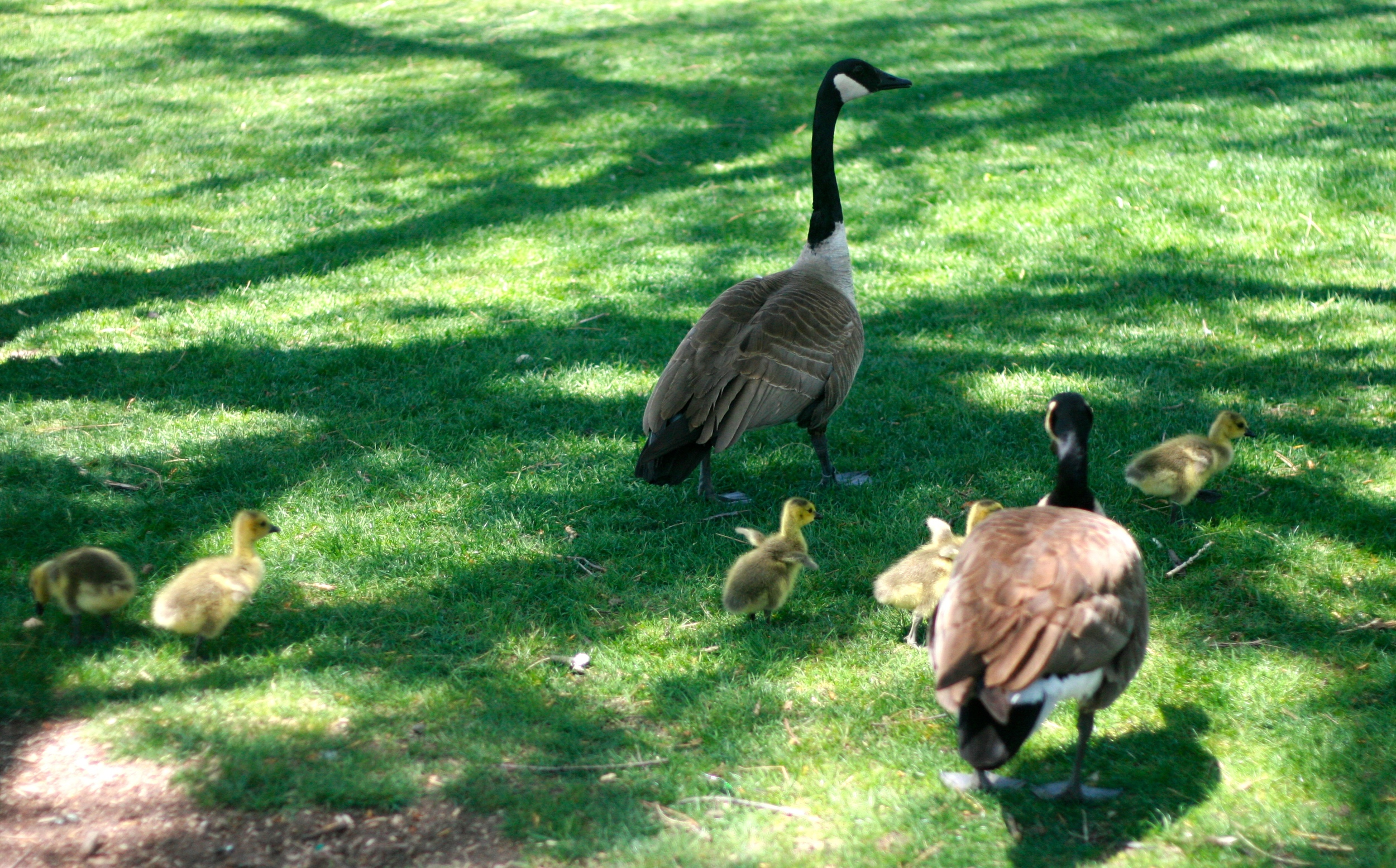 {A little family of geese a bit like my own—well, except they have one more gosling than I do.}