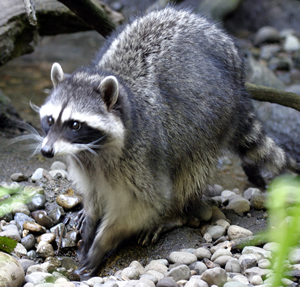 Raccoons are a perfect example of an animal well-adapted to both the wild and urbanized areas.