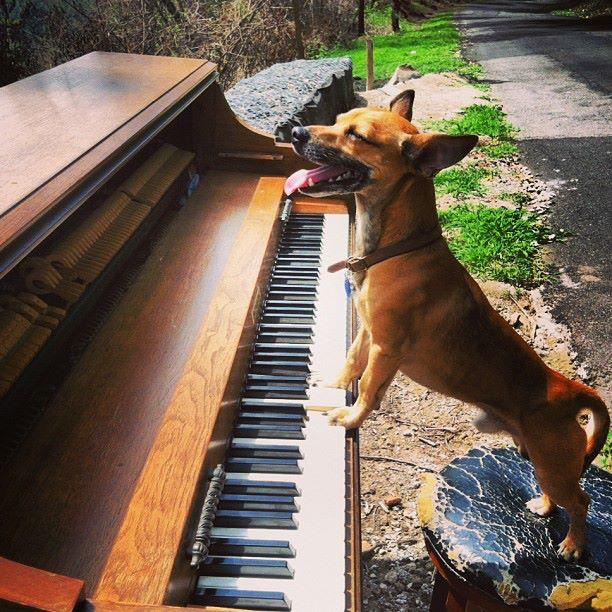 dog playing piano in el salvador