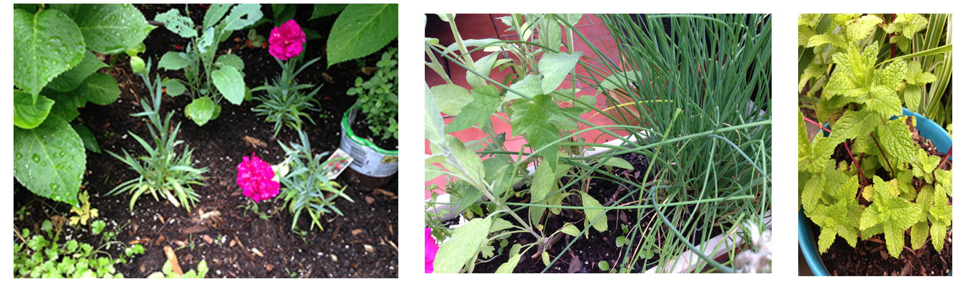from left to right, cilantro, oregano to be planted this weekend, sage and chives from last year and mint.