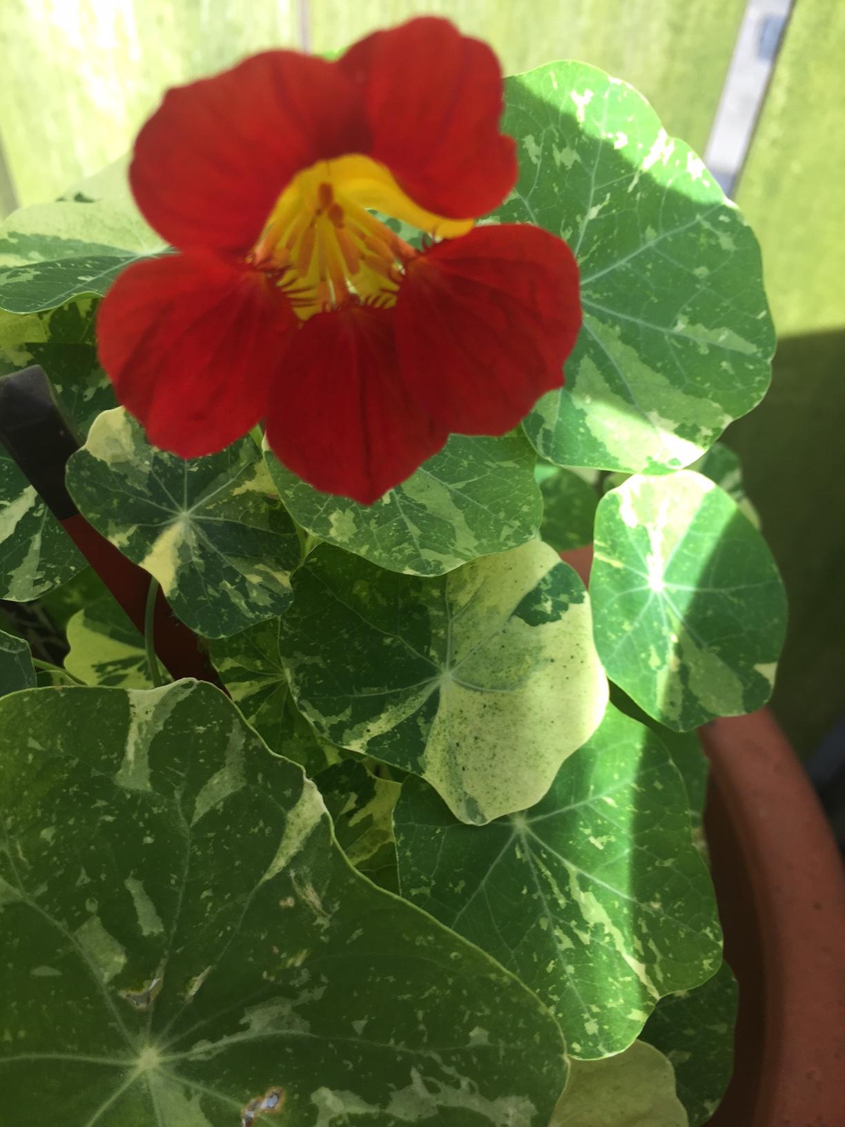 TG garden Nasturium 2516.jpg