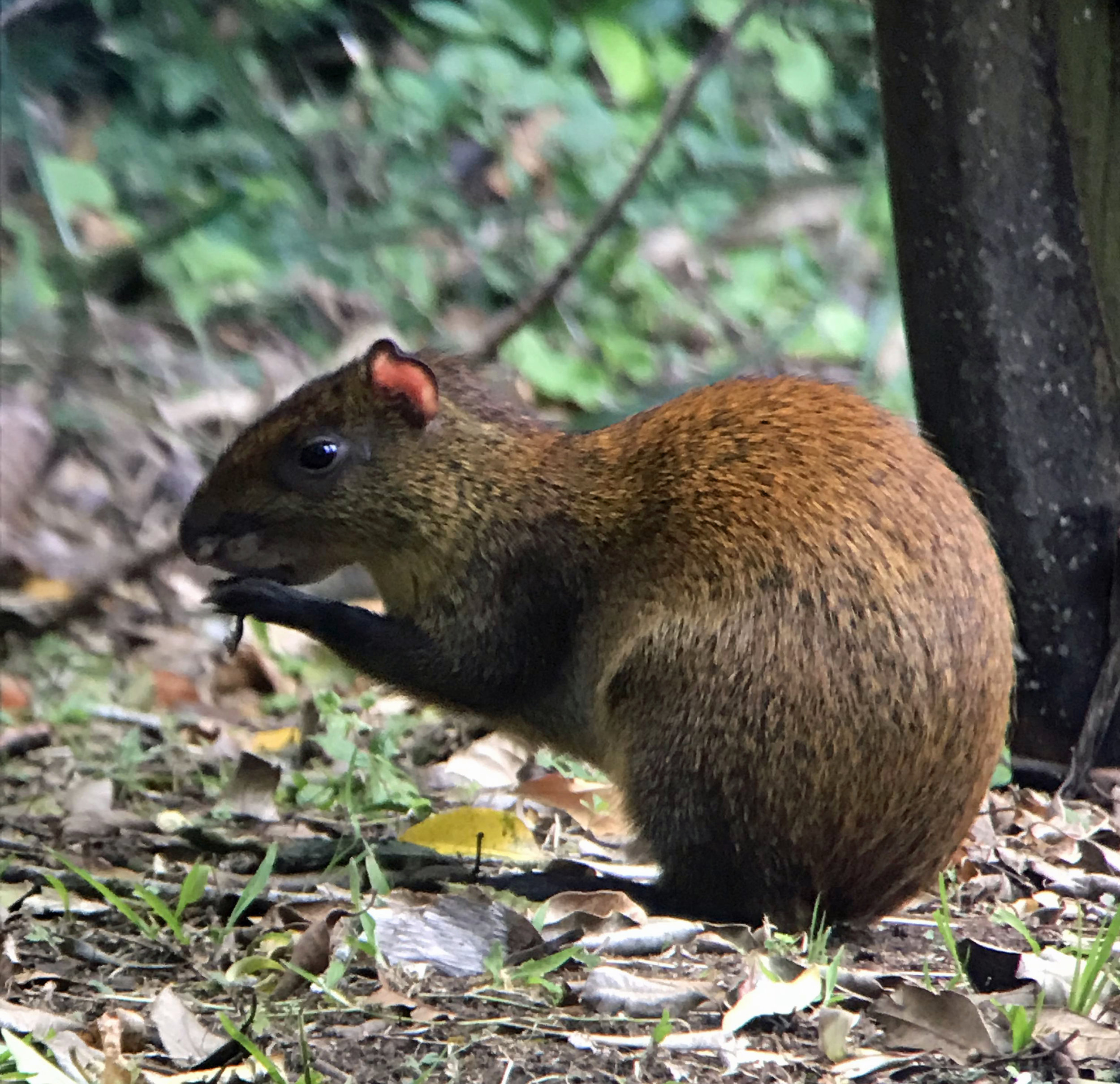 This little agouti was a very avid snacker.  We also saw kinkajous, coatis, and peccaries (a rare sight!).  It was incredibly helpful to have a knowledgeable guide on our nature walks, to tell us about the animals and help spot them.