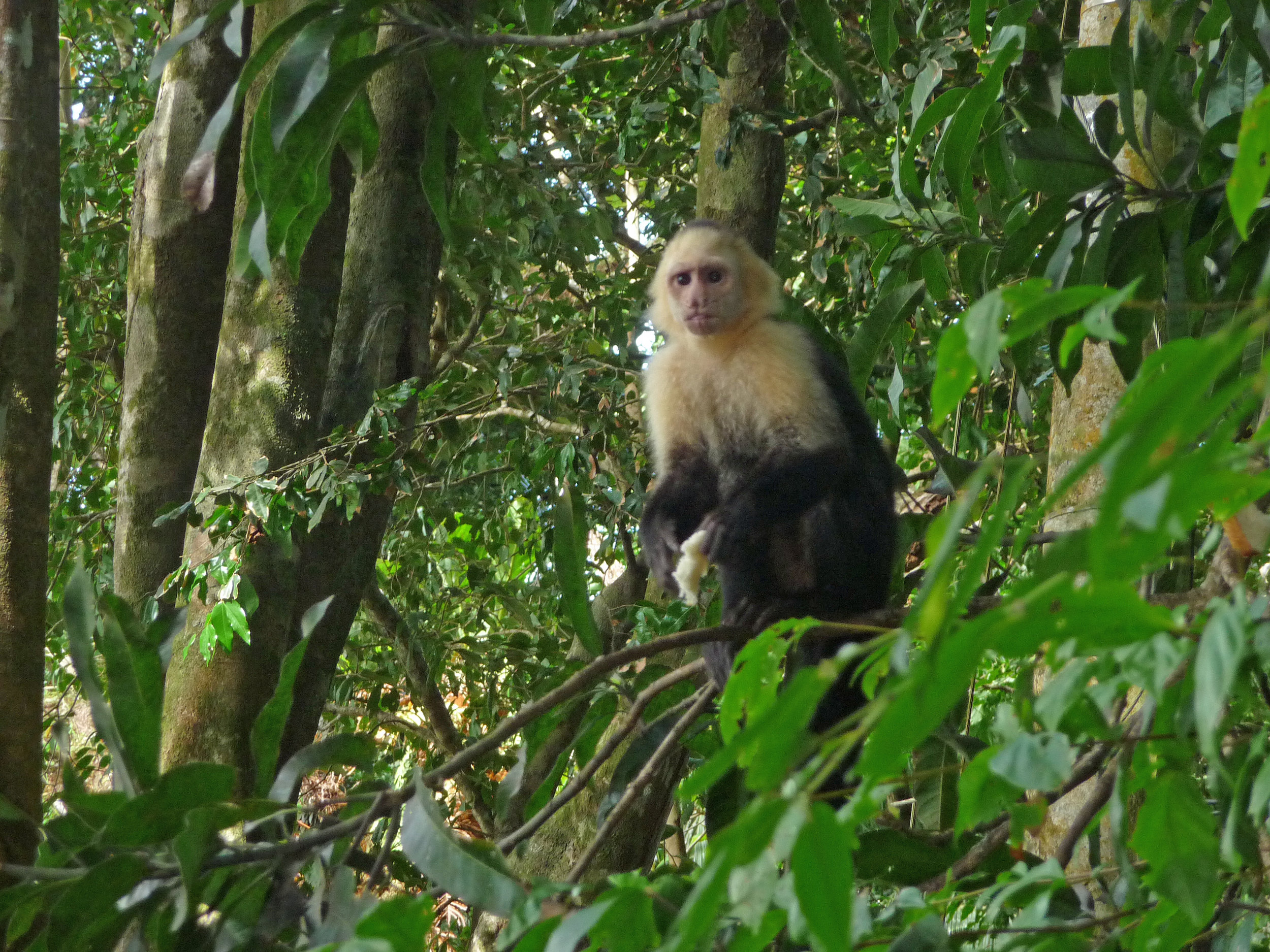 There are three different types of monkeys and we saw all of them.  Here's a cheeky capuchin who had stolen a loaf of bread from some tourists and was eating it slice by slice.