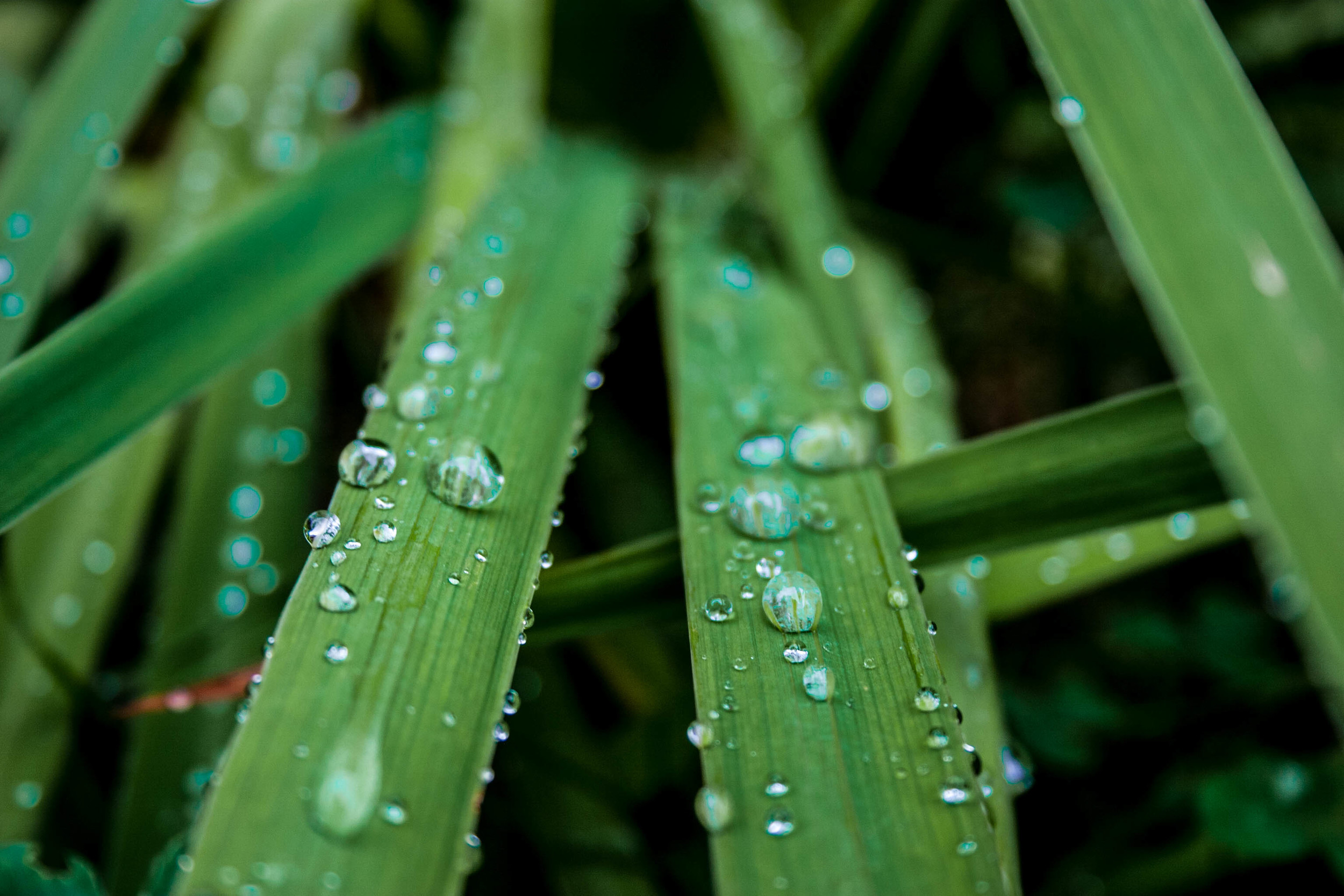 This photo was taken in my backyard. It was raining outside and I noticed how beautiful the rain drops looked on the plants. I grabbed my camera and laid down in the wet grass. Even though I was soaked and muddy after I took the photo, it was well worth it.