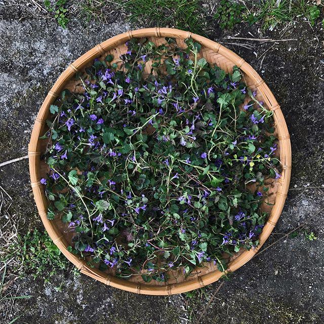 Gick loss och skördade lite Jordreva. Har faktiskt aldrig använt den här växten förut och har inte bestämt mig ännu vad jag ska ha den till. Jag kände mig bara dragen till den just idag! Nu ligger de på tork. #glechomahederacea #jordreva #groundivy