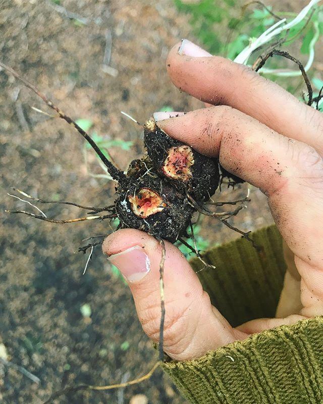 Favoritrot! Nu är det lätt att känna igen blodroten på blommorna. 🌼🌼🌼 Läs mer om vad den används till på dagsattplocka.se/blodrot #potentillaerecta #blodrot