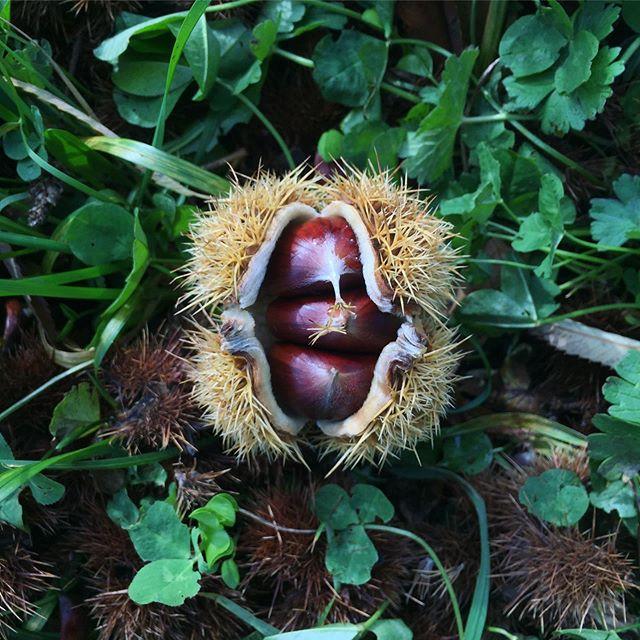 Överflödet! | The abundance!  #chestnut #äktakastanj