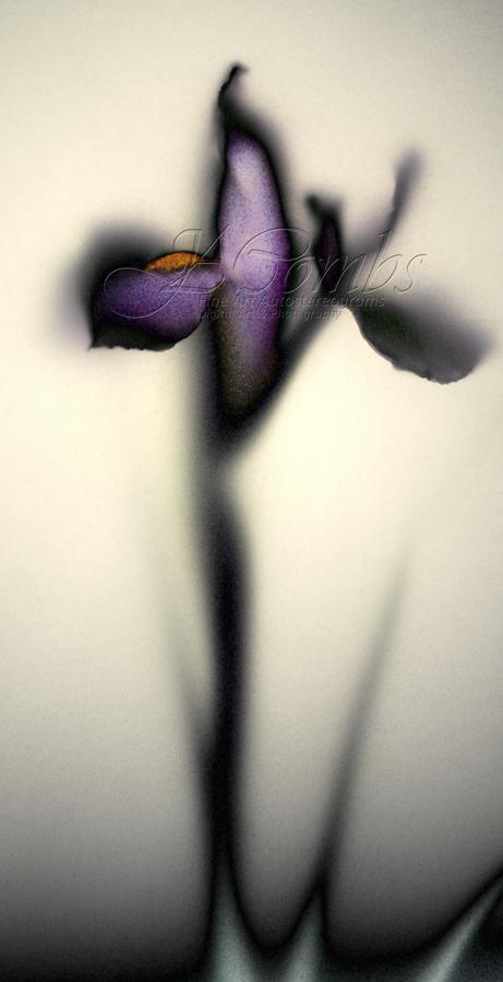 Iris in Pearly Light