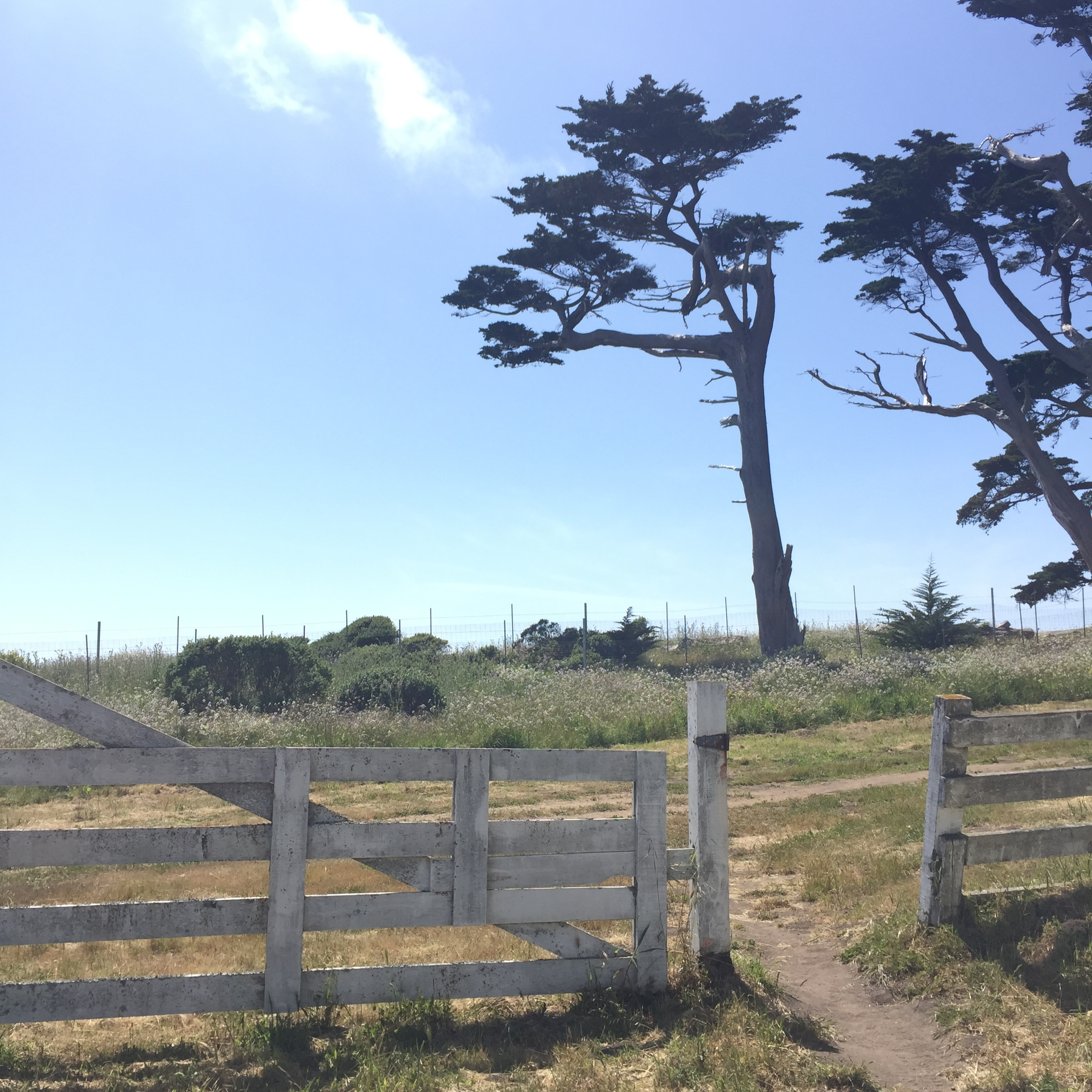 Monterrey Cypress, Point Reyes Station