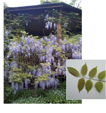 Wisteria floribunda 'Tree form' (Japanese Wisteria)