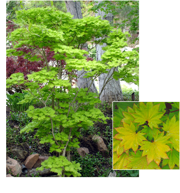Acer shirasawanum 'Aureum' (Aureum Japanese Maple)