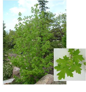 Acer grandidentatum 'Bigtooth' (Bigtooth Maple)