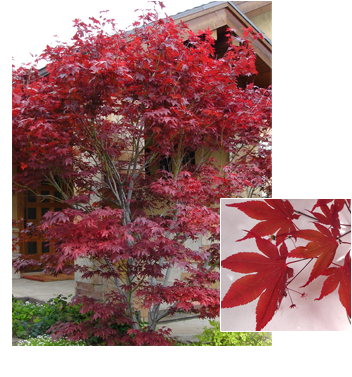 Acer palmatum 'Bloodgood' (Bloodgood Japanese Maple)
