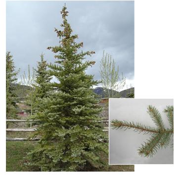 Picea pungens 'Glauca'  (Colorado Blue Spruce)