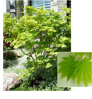 Acer japonicum 'Ed Wood' (Ed Wood Maple)