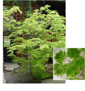 Acer japonicum 'Acontifolium' (Fernleaf Maple)