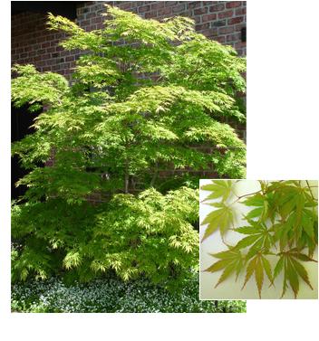 Acer palmatum 'Omure yama' (Omure yama Maple)