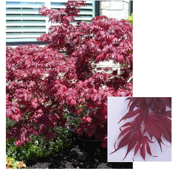 Acer palmatum 'Oregon Sunset' (Oregon Sunset Maple)