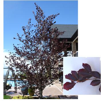 Fagus sylvatica 'Atopunicea' (Purple Beech)