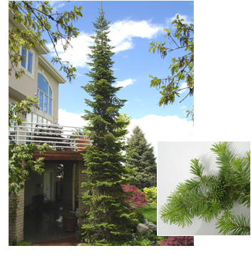 Abies lasiocarpa (Subalpine Fir)