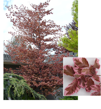 Fagus sylvatica 'Rosea Maginata' (Tri Color Beech)