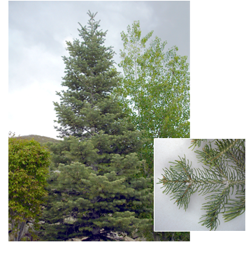 Abies concolor (White Fir)