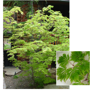 PDM-trees-fernleafmaple.png