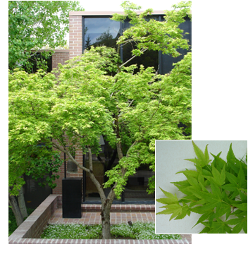 PDM-trees-japanesemaple1.png