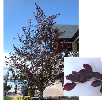 PDM-trees-purplebeech.png
