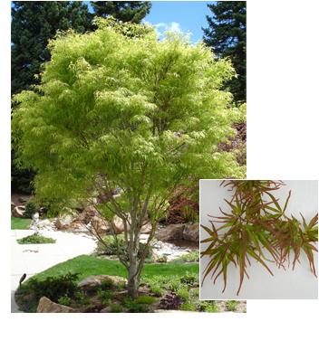 Acer palmatum Koto no ito (Koto no Ito Maple)