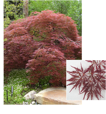 Acer palmatum dissectum (Red Japanese Laceleaf Maple)
