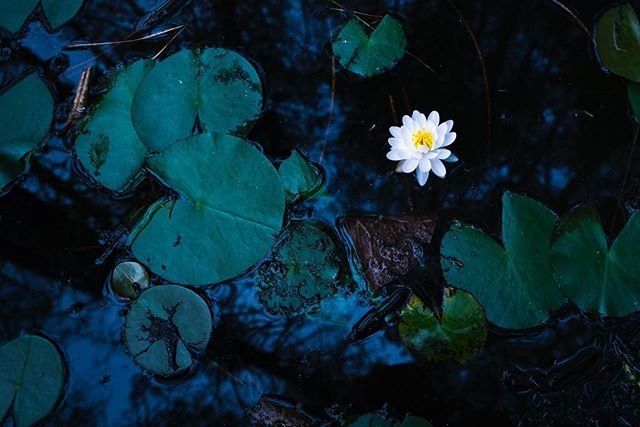 """It's been a while since I just threw a nature photo out there, so here's a native water lily I found in a bog in the New Jersey Pine Barrens! This photo also doubles as a """"Natural World"""" entry to the #ThereThereFestival by @moment, so fingers crossed! —Brian . . . . #coldweathercontest #moment #festival #wander #wild #nature #photography #natgeo #explore #gofar #naturalworld #adventure #peaceful #ecology #swamp #lily #flower #wanderynaturetags #thoreauquote"""