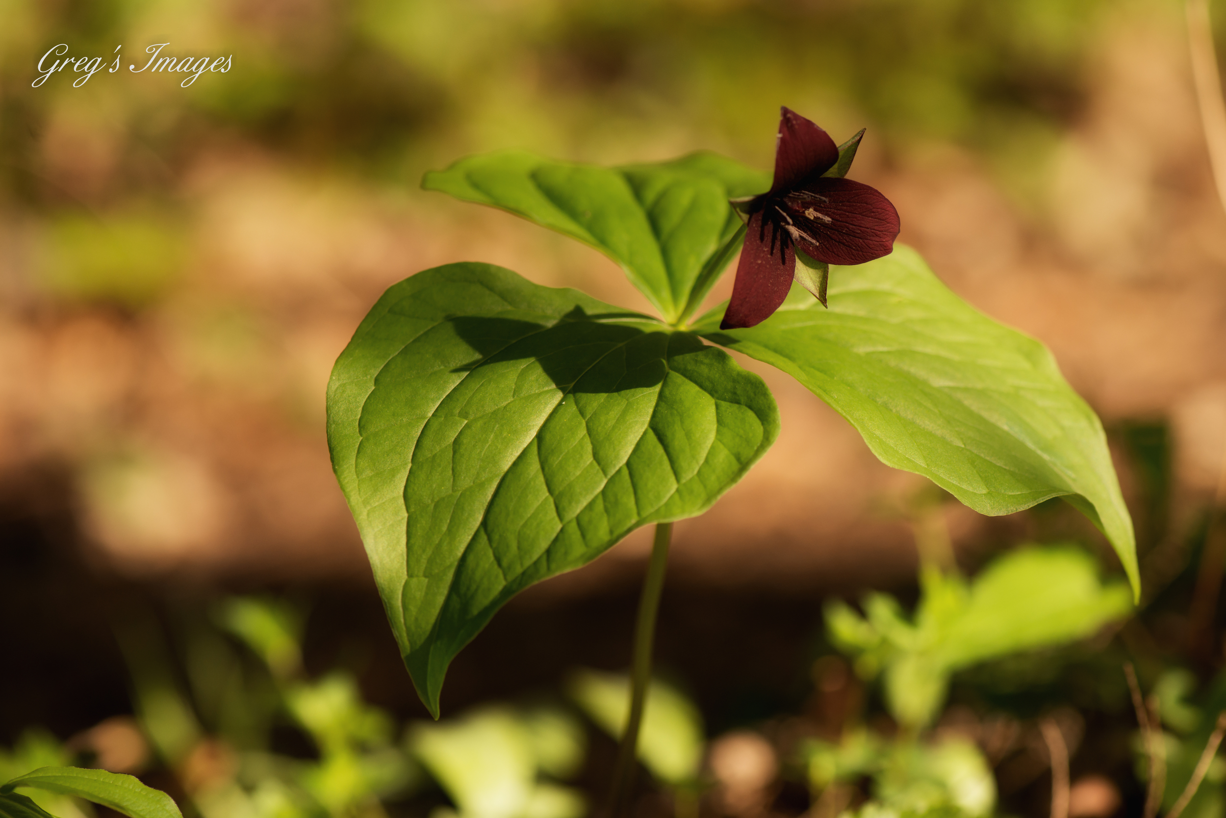 Red Trillium found during the spring wildflower bloom at Yahoo Falls.