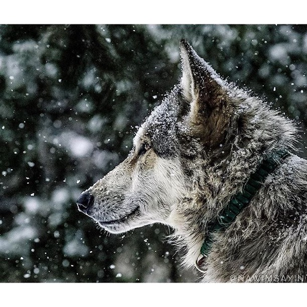""""""" Y'all stay dry by the fire, While we thrive in the wet snow!! """"  Wolf Run Wildlife Refuge     Photo via Instagramer   @nawimsayin"""